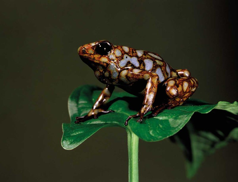 Poisonous frogs safe to sing longer and louder