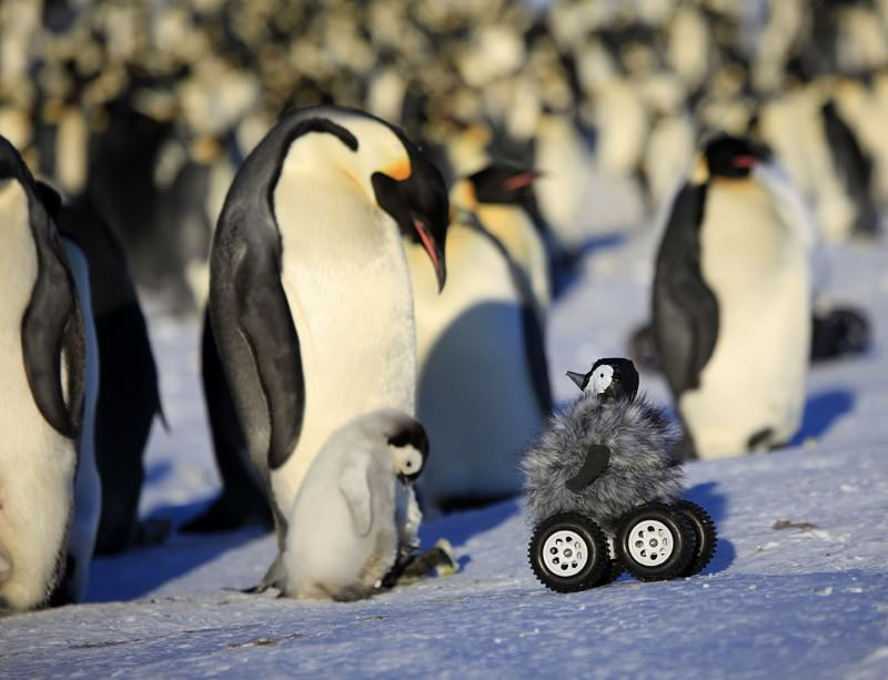 Baby chick spycam fools penguin parents