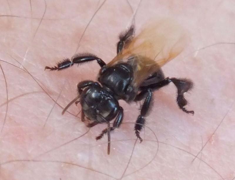 Trigona hyalinata: a bee with teeth and suicidal tendencies