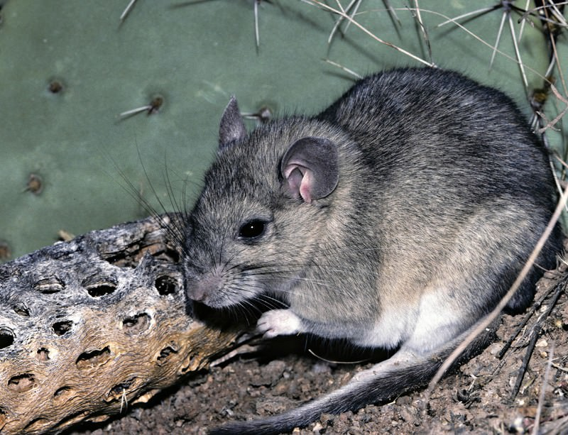 The white-throated woodrat's favourite food is a spiny cactus
