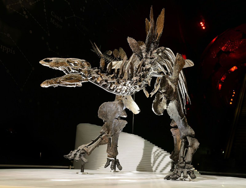 Meet the most complete stegosaurus ever found