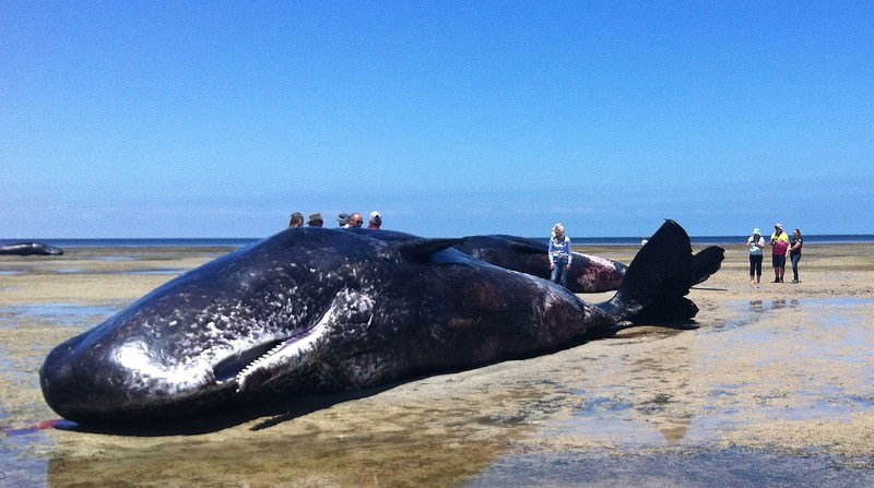 Seven sperm whales dead in mysterious stranding