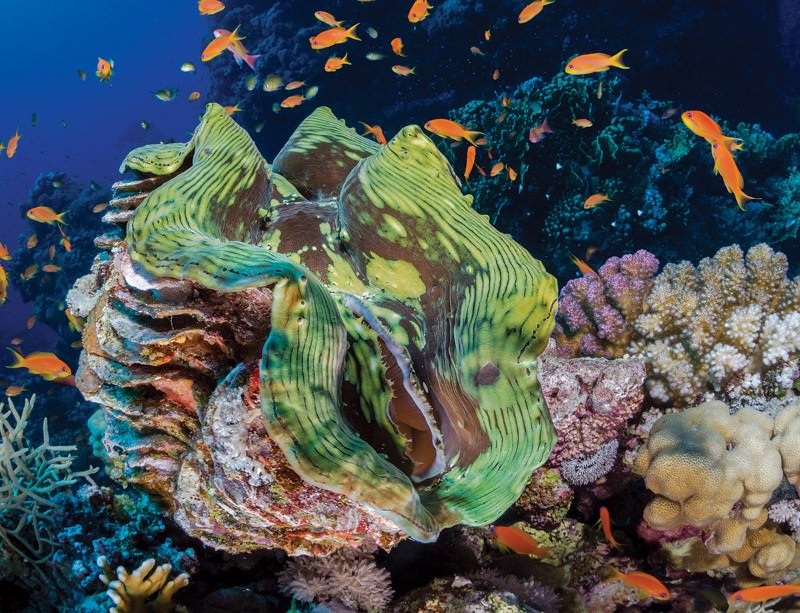 Multitalented Giant Clams Keep Corals Reefs Healthy New