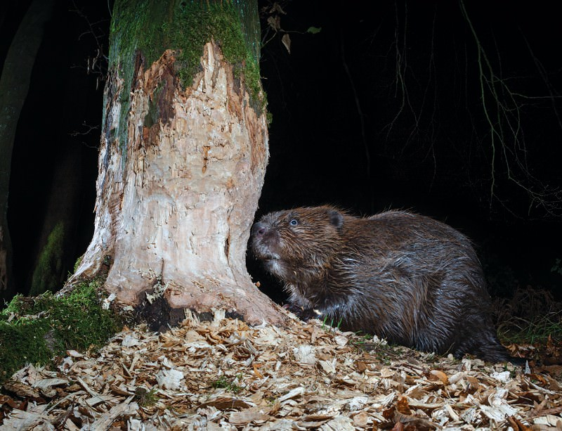 Back from the brink: See European beavers at work