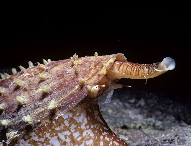 Some cone snails can pump out an incapacitating cocktail of toxins