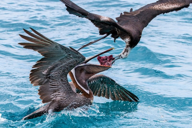 Swooping frigatebird swipes fish from pelican's mouth