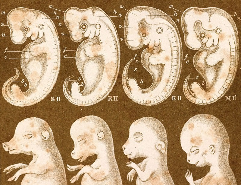 How fudged embryo illustrations led to drawn-out lies