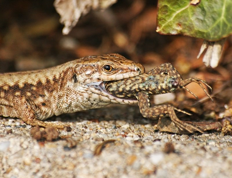 A wall lizard (here, Podarcis muralis) eats one of its own