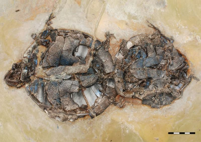 Stunning fossils: Turtles caught in the act