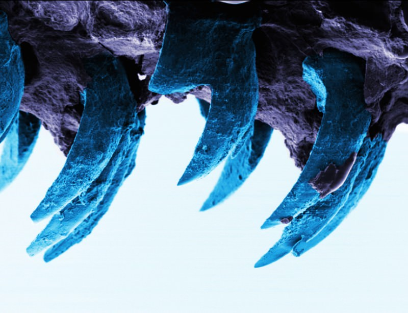 Stretchy limpet teeth are nature's strongest material