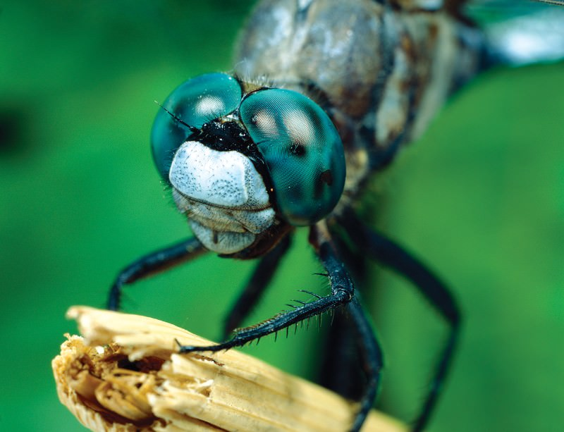 Dragonfly Eyes See The World In Ultra Multicolour New Scientist