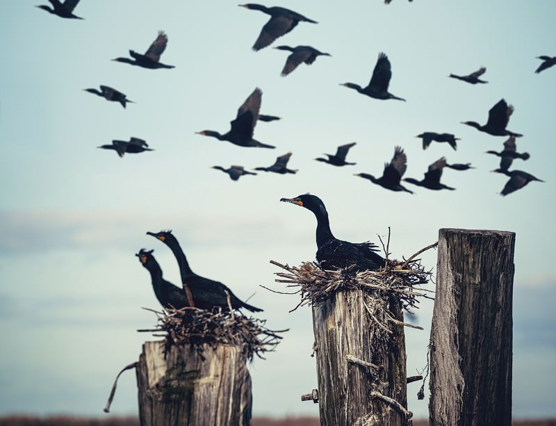 Cormorants: the world's most hated bird?