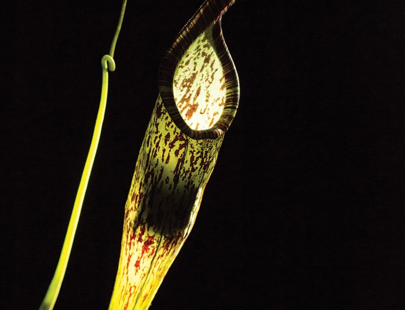 Tiny bat makes home in a carnivorous plant