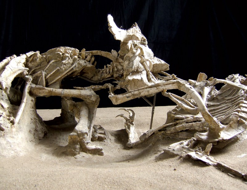 stunning fossils dinosaur death match new scientist