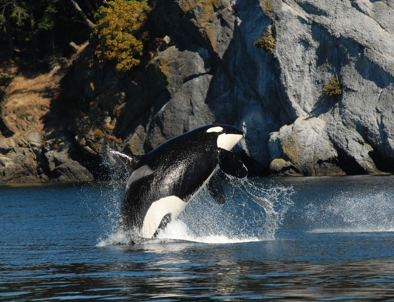At 98, this orca is still going strong