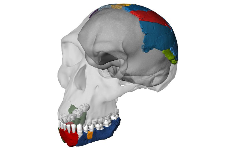 The skull that chews up theories of human ancestry