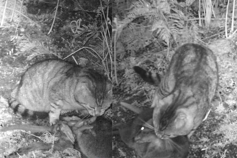 Caught on camera: Feral cat kills 4-kilogram mammal
