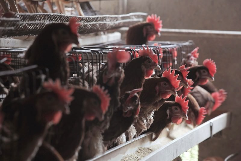 Chinese chickens: hotbeds for antibiotic resistance