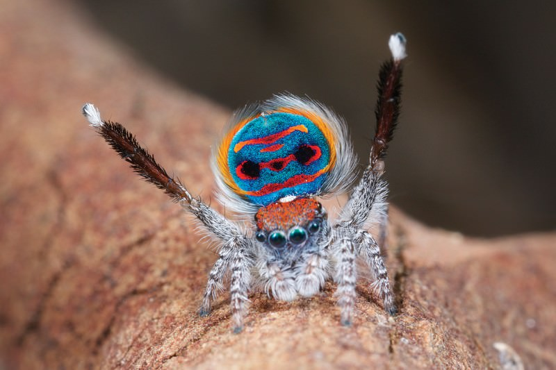 Wizards of Oz: World's cutest and most awesome spiders