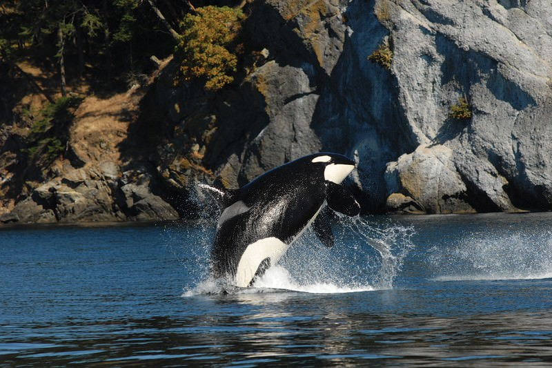 Female orcas lead the pods