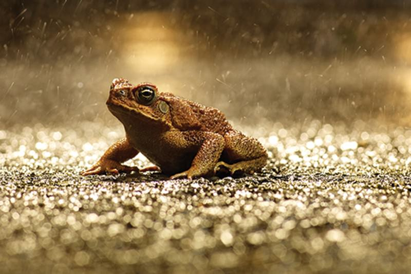 Cane toad has surprise effect on Australian ecosystem