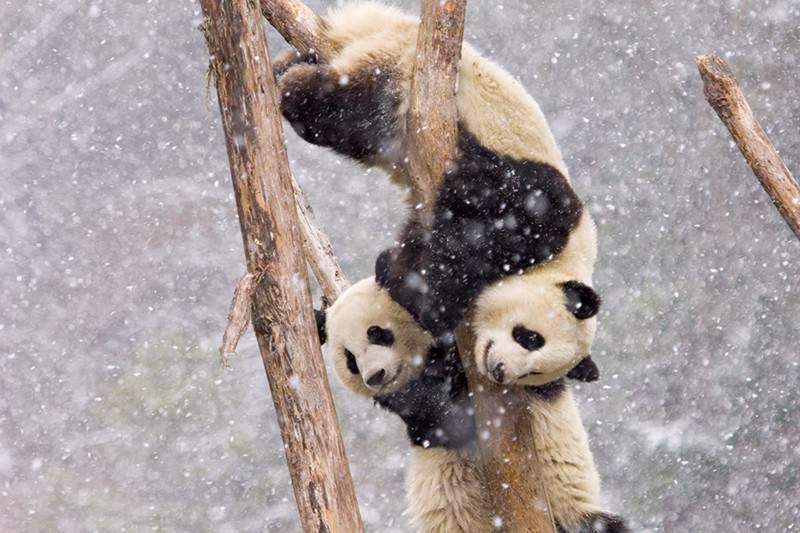 Panda society exists