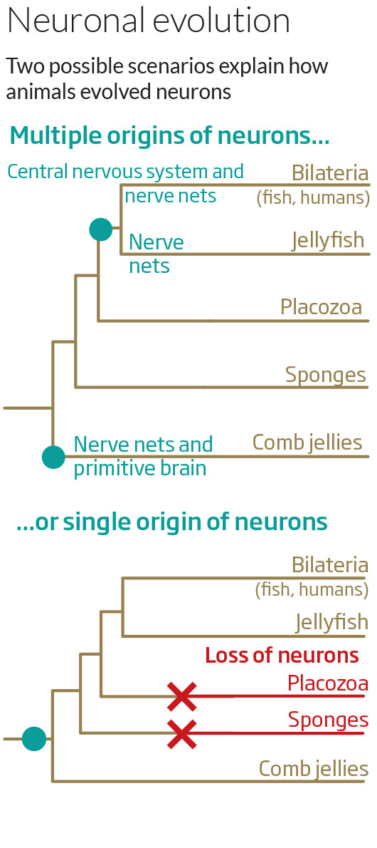 Neuronal evolution
