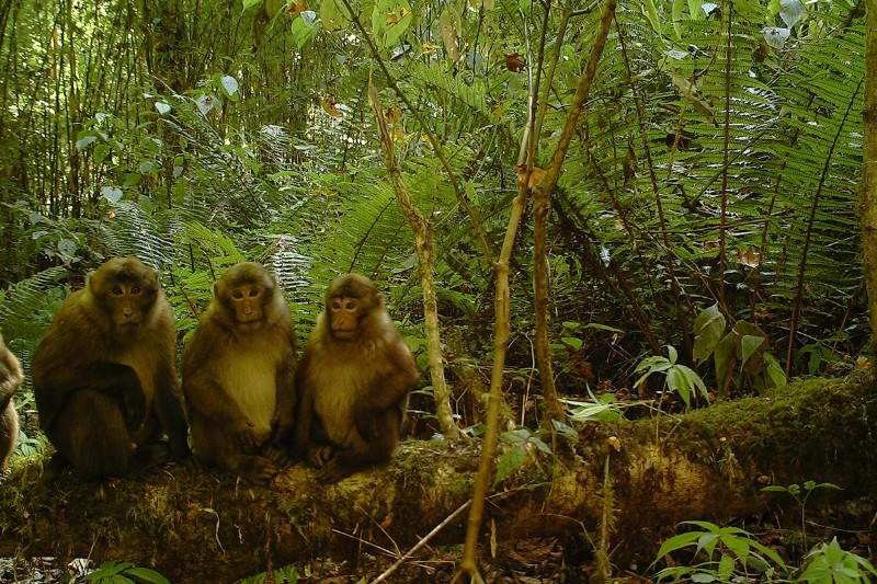 New monkey species revealed thanks to distinctive penis