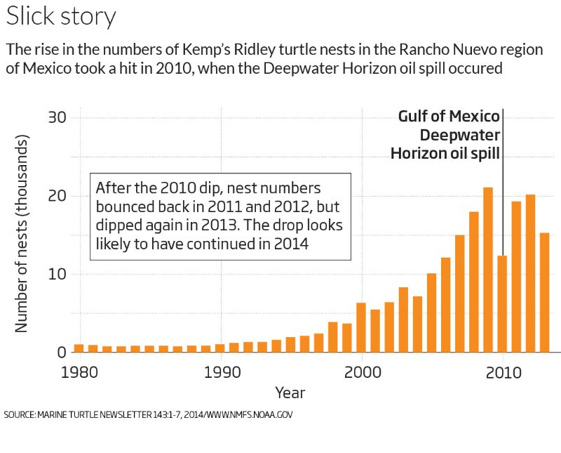 After the spill: Mystery of the vanishing Gulf of Mexico turtles