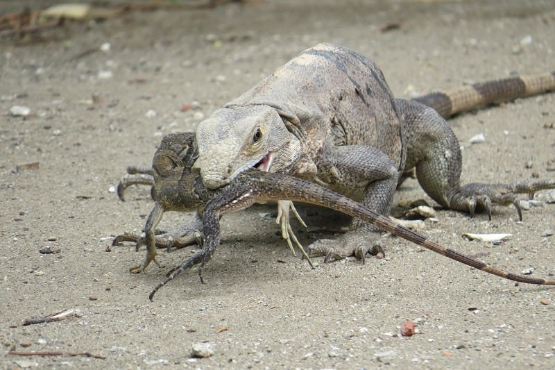 Rare cannibal iguana caught snacking on a juicy juvenile