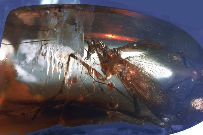 Predatory cockroach from dinosaur era found trapped in amber