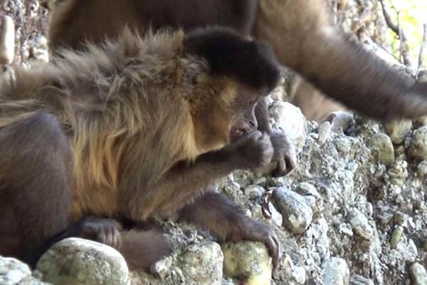 Monkey made a nose pick