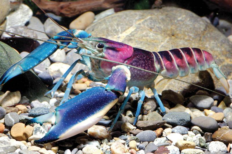 Cherax pulcher, beautiful in blue
