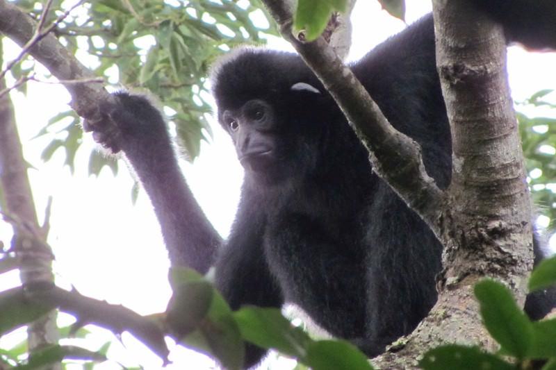 The Hainan gibbon