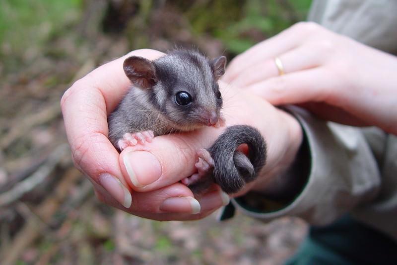 Chatty possums