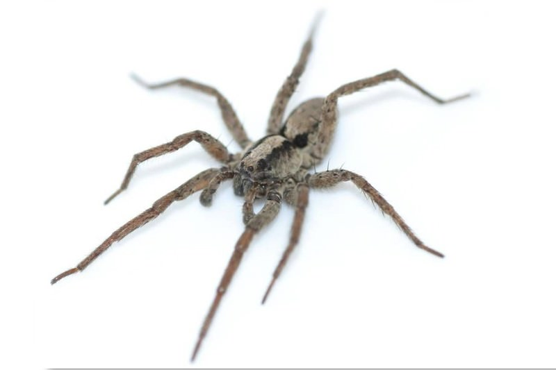 Purring spider