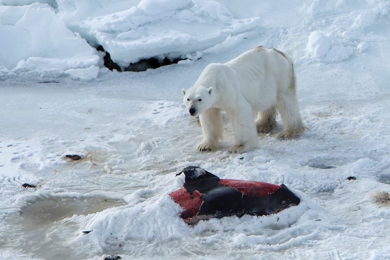 Polar bear caught eating dolphins and freezing the leftovers