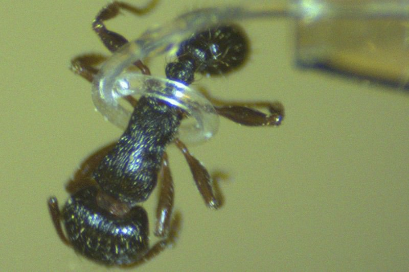 Soft robot tentacle can lasso an ant without harming it