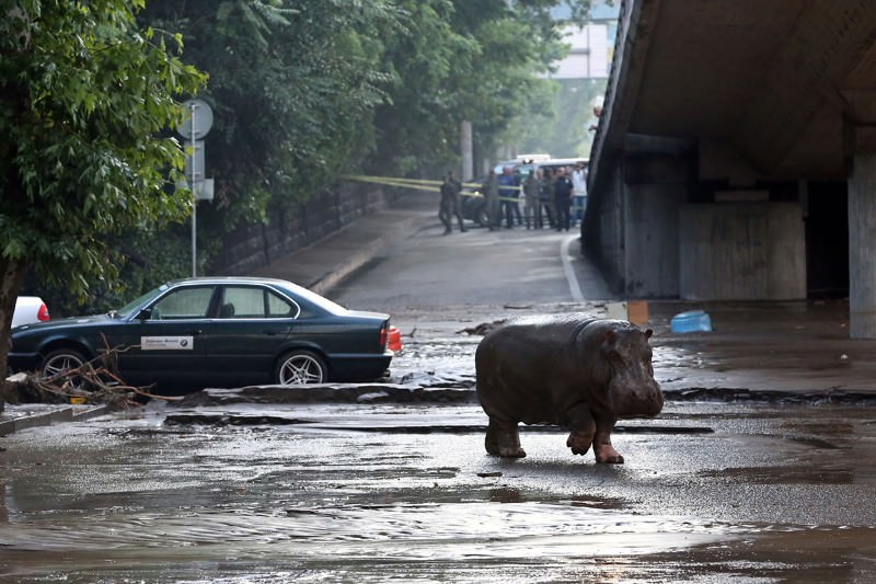 Hippos, bears and lions run wild after flood hits zoo in Georgia