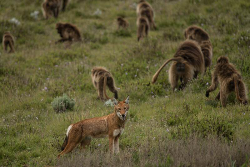 Monkeys' cosy alliance with wolves looks like domestication