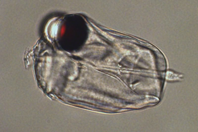 This single-celled bug has the world's most extraordinary eye