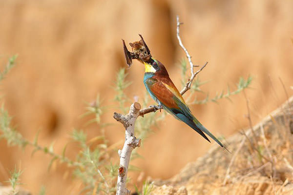 Ambitious bee-eater attempts to swallow a bat whole