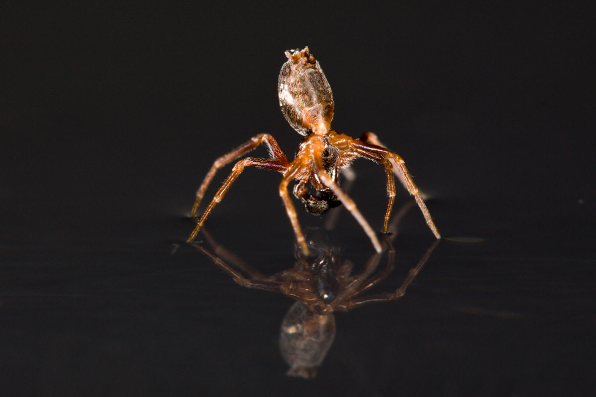 spider skates on water