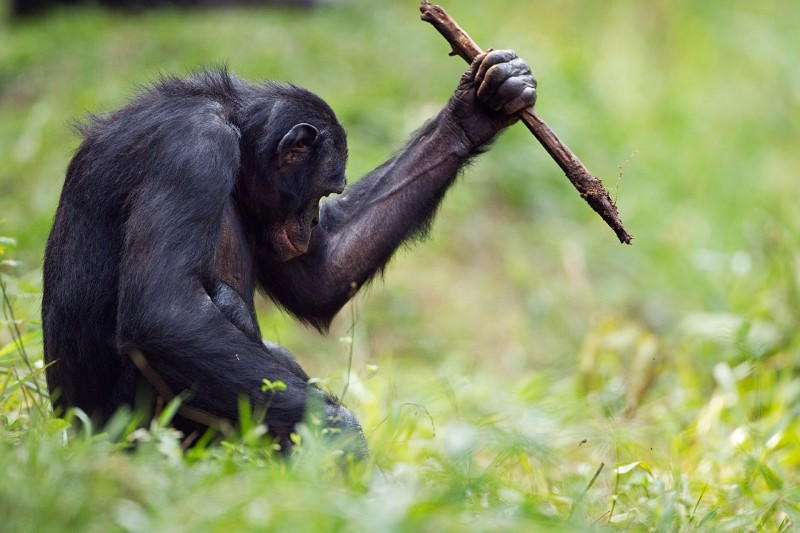 Bonobos use a range of tools like stone-age humans