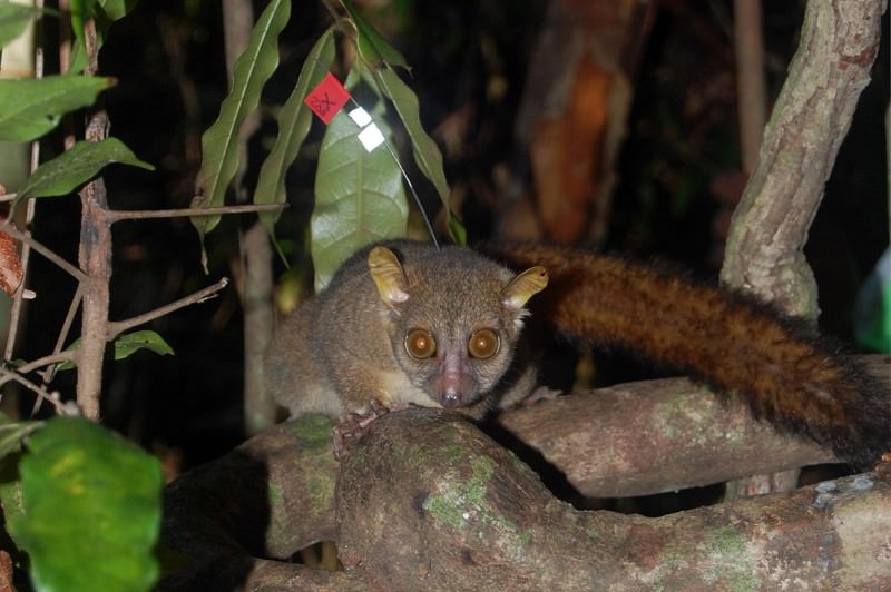Zoologger: The sex-addicted tiny lemur with giant testicles
