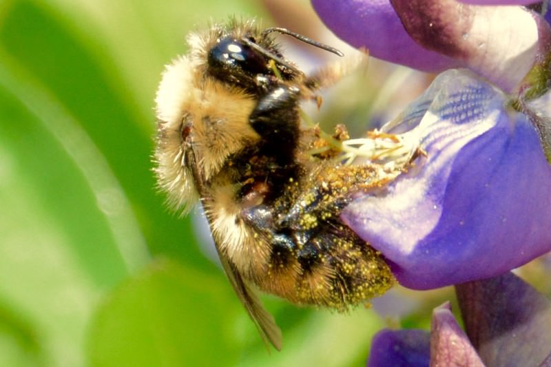 Climate vice squeezes bumblebee habitat from north and south