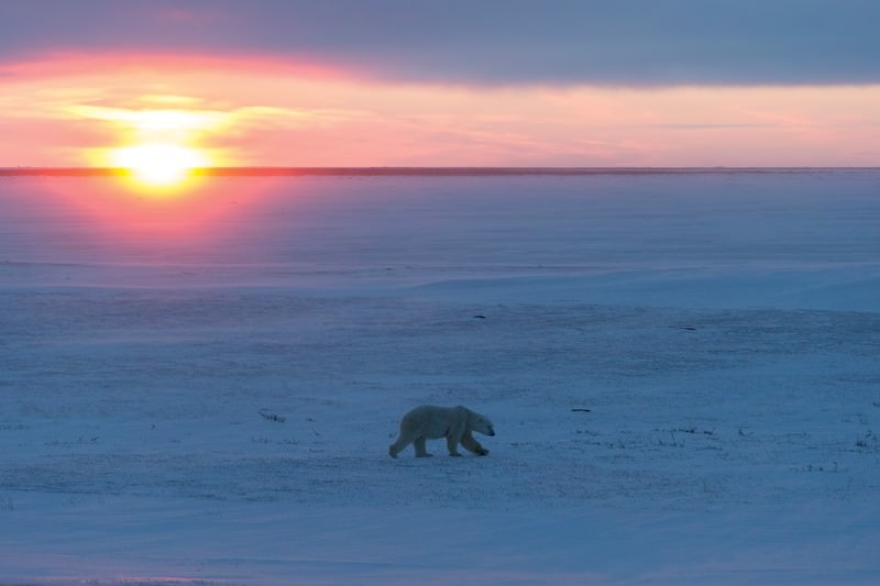 Chance of polar bears surviving food shortage recedes with ice