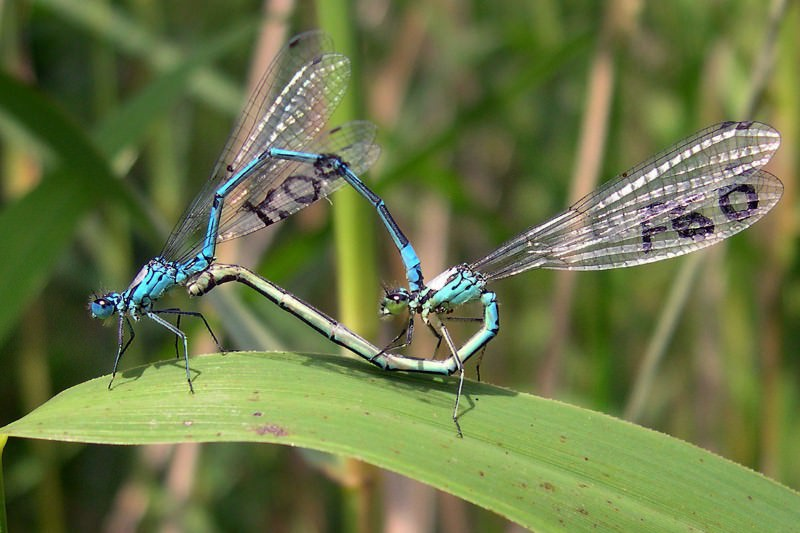 Damselflies keep up heart-shaped Kama Sutra sex in their old age