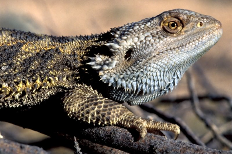 Zoologger: The lizard that changes its sex to suit the weather