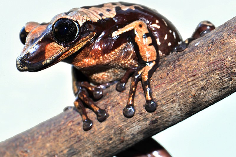 Zoologger Worlds first venomous frog has the kiss of death